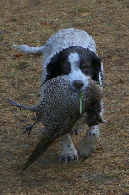 Retrieving a hen pheasant at Bruntlands