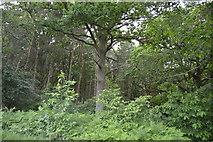 TQ5346 : Roundabout Wood by N Chadwick