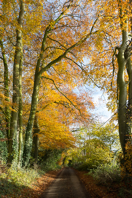 Autumn Beeches in Warley Lane