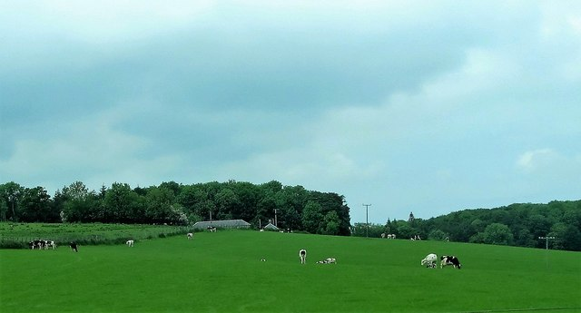 Dairy herd at Mullaghbane