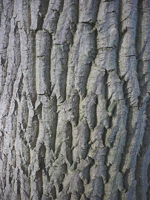 Ash Wood Bark ~ The bark of an ash tree karl and ali cc by sa
