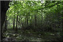 TQ5044 : Coppicing, The Slips by N Chadwick