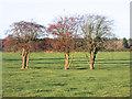 SU8085 : Three Thorn Trees by Des Blenkinsopp