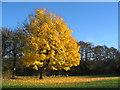 SP3176 : Maple near Canley brook : Week 48