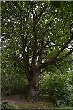 TQ5345 : An ancient Oak, Penshurst Park by N Chadwick