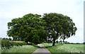 TL6055 : Trees beside the road to Dullingham by JThomas