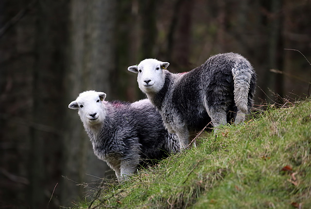 Herdwick sheep at Rough Crag