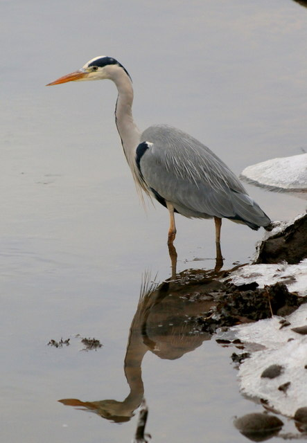 The Grey Heron (Ardea cinerea) - a most patient stalker