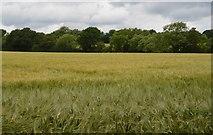 TQ5247 : Field of Barley by N Chadwick