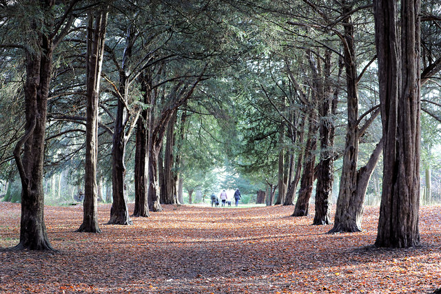 Yew trees in Albana Wood, Ickworth Park