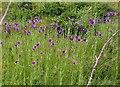 TQ9418 : Salsify flowers by Patrick Roper