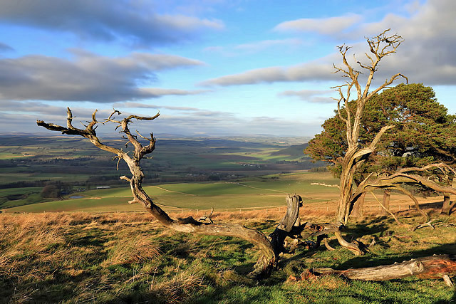 Dead Scots Pines at Rubers Law
