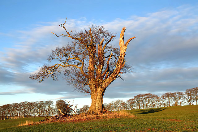 An old tree at Craighouse