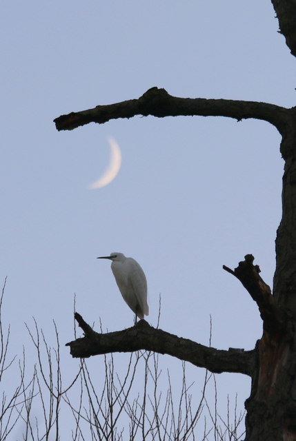 Eclipsed by the moon at sundown - The Little Egret