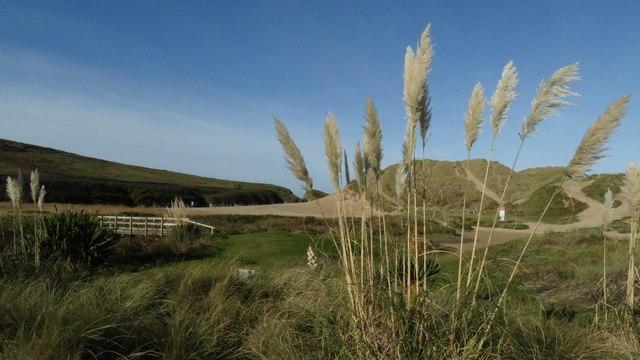 Pampas grasses & footbridge at Holywell Bay