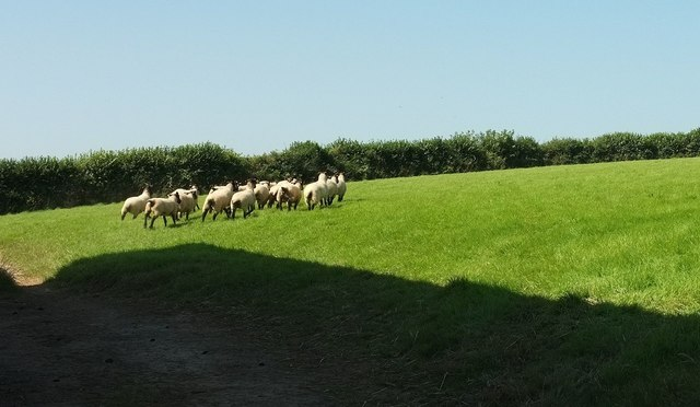 Sheep north of Holtroad Wood