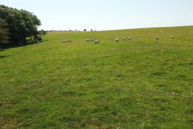 Sheep on Tawna Downs