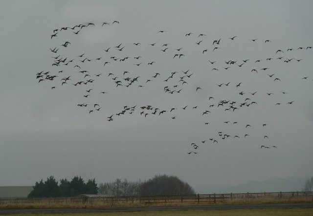 Thorney Island - Brent Geese over former airfield