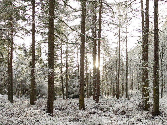 Snow-muffled silence of the woods at Altyre