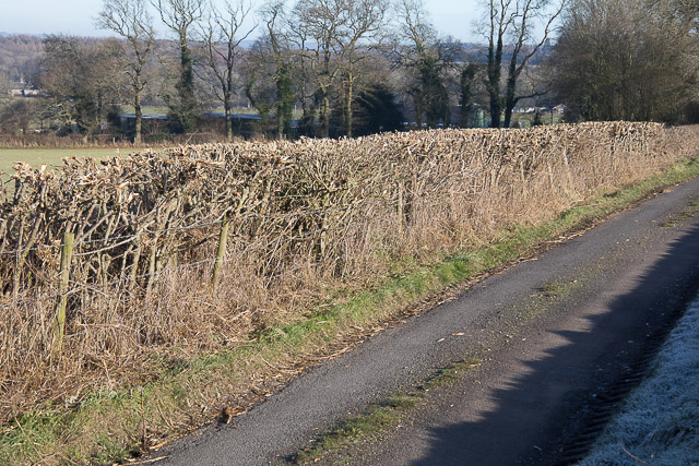 Recently cut hedge on Riversdown Road