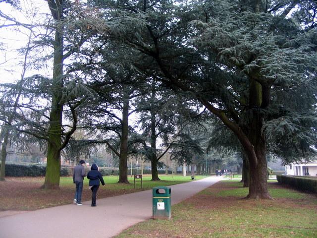 Memorial Park cedars