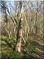 NZ0764 : Stripey birch tree by Joan Sykes