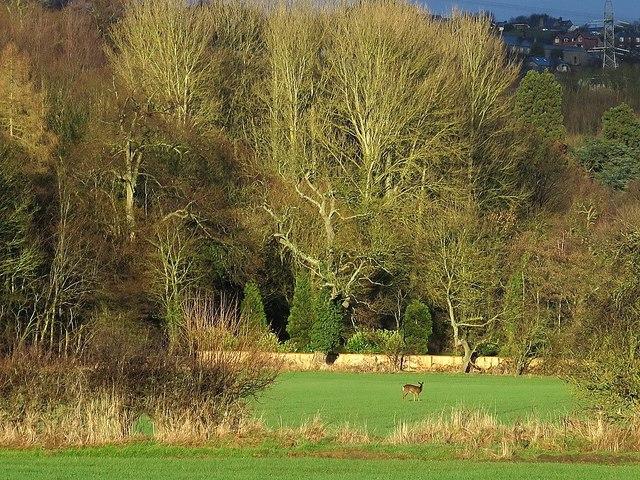 Roe Deer by West Wood