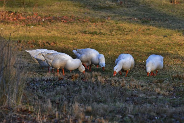 "Penhurst's friendly geese 1: ""Quietly passing our time in the grassland away"""