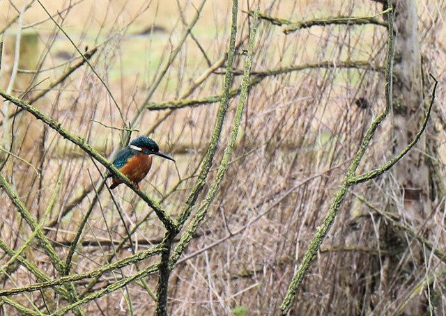 Kingfisher above the River Lark