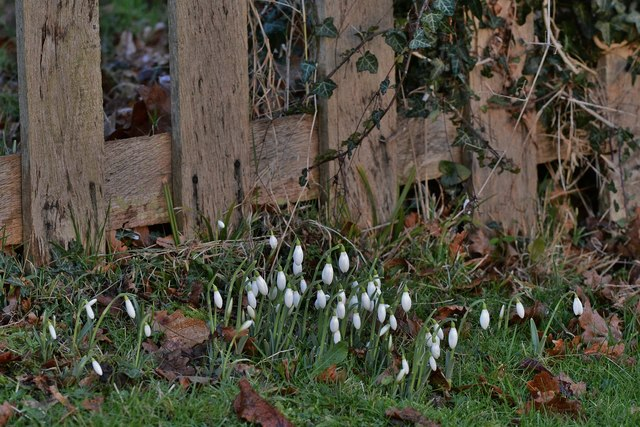Penhurst: A first showing of snowdrops