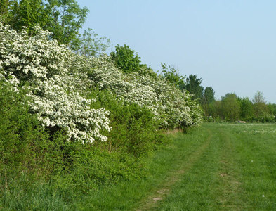 TQ5383 : Hedgerow, Hornchurch Country Park by Robin Webster