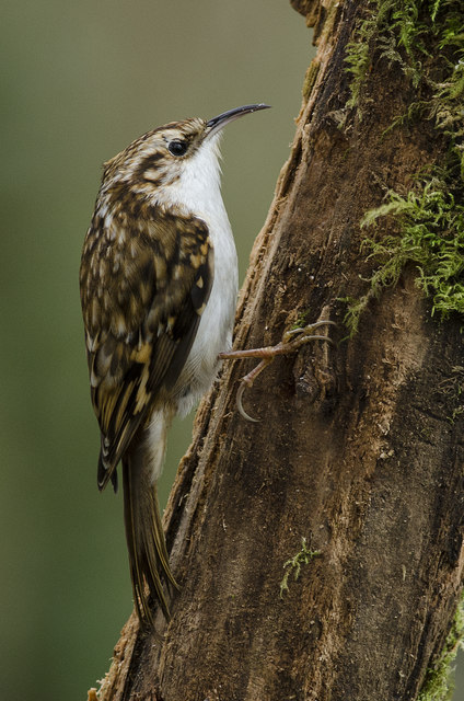 Tree Creeper (Certhia familiaris)