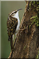 ST0272 : Tree Creeper (Certhia familiaris) : Week 5