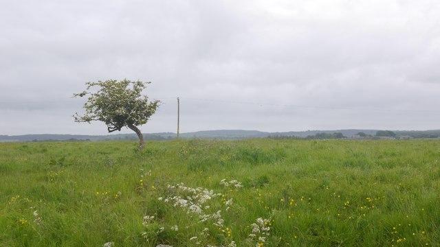 Thorn Tree Richard Webb Geograph Britain And Ireland