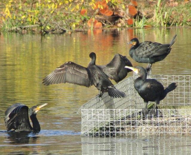 Riverside Park - Cormorants