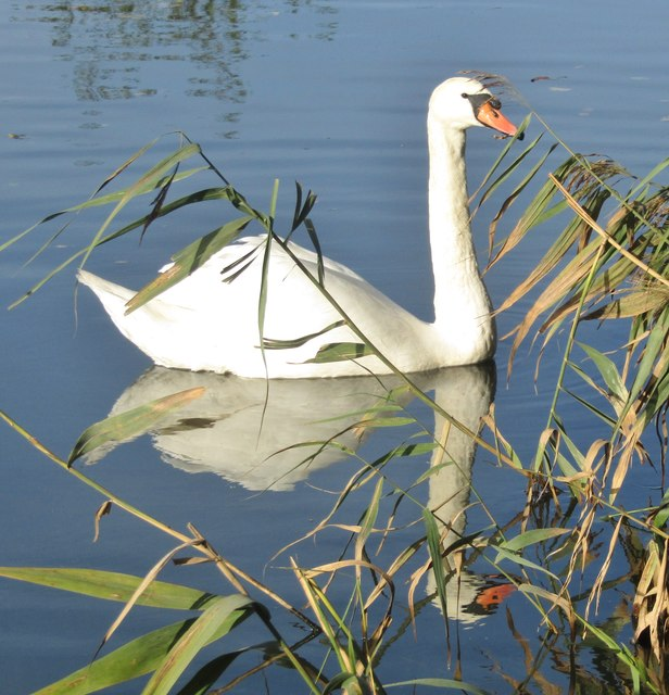 Riverside Park - Swan