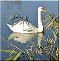 TQ0051 : Riverside Park - Swan by Colin Smith