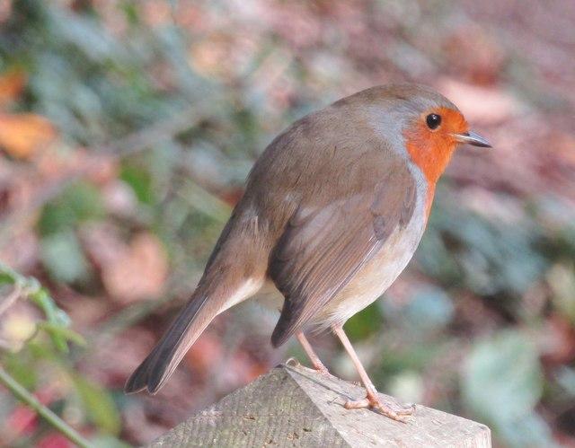 Winkworth Arboretum - Robin