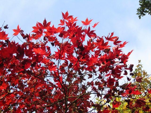 Winkworth Arboretum - Maple Leaves