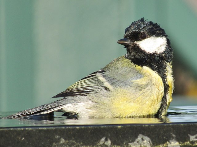 Wisley - Great Tit