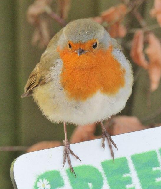 Wisley - Robin