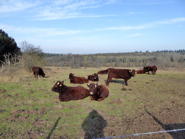 Cattle, Farley Mount Country Park