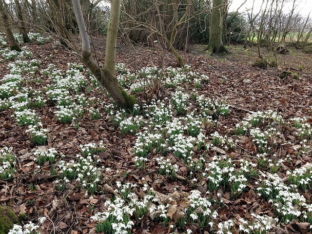 Snowdrops in West Wood