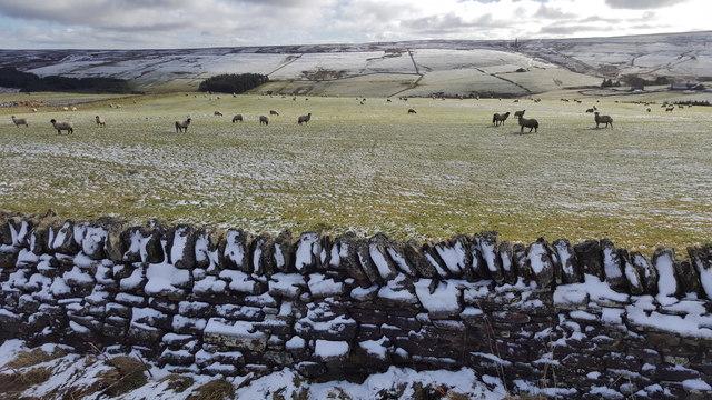 Sheep grazing at Boltshope Park