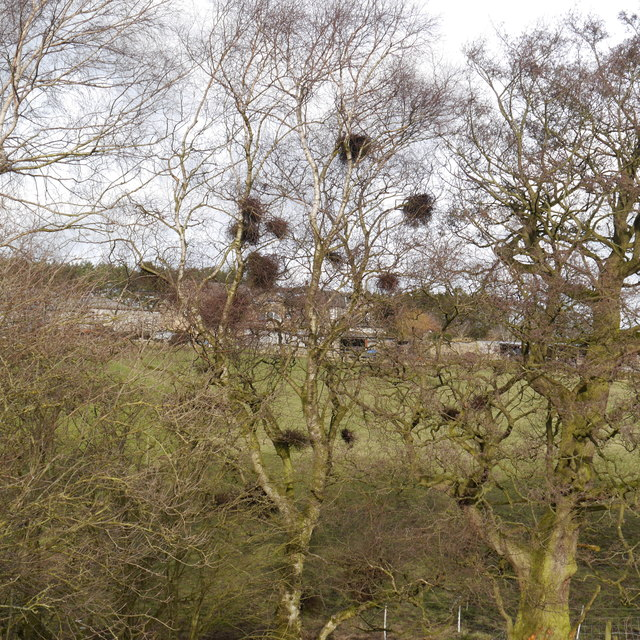 Witches' broom on Silver Birch, Woodlands Farm
