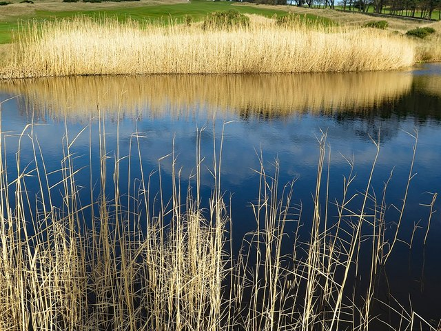 Reeds at Close House pond