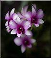 TQ1877 : Dendrobium, Kew Gardens by Christine Matthews
