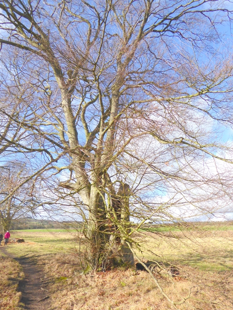 Beech tree beside the South Tyne