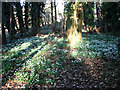 TG2004 : Snowdrops on forest floor by Evelyn Simak