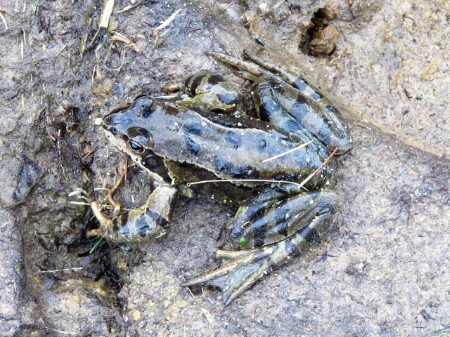 Frog by the lough near Crawberry Hill (2)
